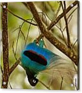 A Male Blue Bird Of Paradise Performing Acrylic Print by Tim Laman
