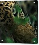 A Male Leopard Dozes Acrylic Print