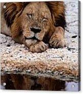 A Male Lion Panthera Leo Sleeps Acrylic Print
