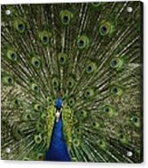 A Male Peacock Displays His Feathers Acrylic Print