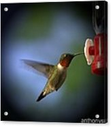 A Male Ruby-throated Hummingbird Acrylic Print