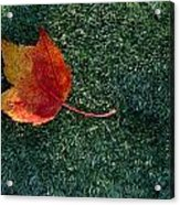 A Maple Leaf Lies On Emerald Moss Acrylic Print