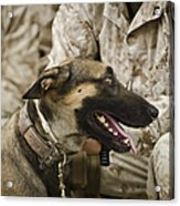 A Military Working Dog Sits At The Feet Acrylic Print by Stocktrek Images