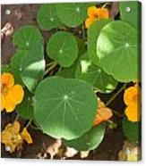 A Mix Of Orange Flowers And Round Green Leaves With Sun And Shadow Acrylic Print