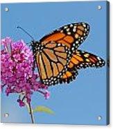 A Monarch Butterfly, Danaus Plexippus Acrylic Print by Darlyne A. Murawski
