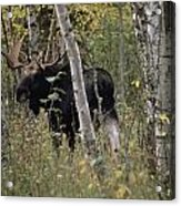 A Moose Alces Alces Americana With An Acrylic Print
