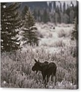 A Moose In A Frost-covered Field, Grand Acrylic Print