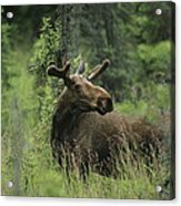 A Moose Stands In Tall Grass Acrylic Print
