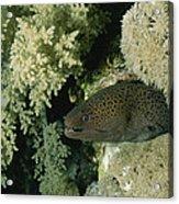 A Moray Eel Pokes Its Head Acrylic Print