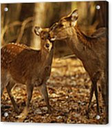 A Mother And Fawn Sika Deer Acrylic Print