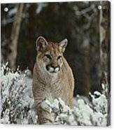 A Mountain Lion, Felis Concolor Acrylic Print