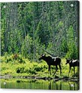 A Natural Salt Lick Lures Moose Acrylic Print