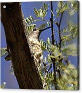 A Nesting Hummingbird Acrylic Print