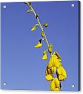 A New-holland Rattlepod, Crotalaria Acrylic Print by Jason Edwards