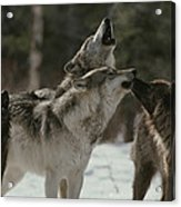 A Pack Of Gray Wolves, Canis Lupus Acrylic Print