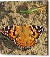 A Painted Lady Looking For Sex 8619 3369 Acrylic Print