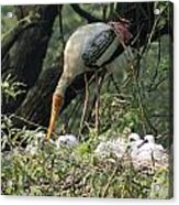 A Painted Stork Feeding Its Young At The Delhi Zoo Acrylic Print