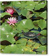 A Painted Turtle Rests On A Water Lily Acrylic Print