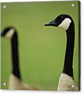 A Pair Of Canada Geese In Profile Acrylic Print