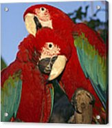 A Pair Of Captive Red-and-green Macaws Acrylic Print