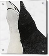 A Pair Of Chinstrap Penguins Acrylic Print