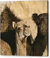 A Pair Of Dromedary Camels Pose Proudly Acrylic Print