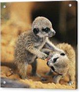 A Pair Of Four-week-old Meerkat Pups Acrylic Print