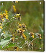 A Pair Of Goldfinches In Spokane Acrylic Print