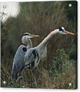 A Pair Of Great Blue Herons Stand Acrylic Print