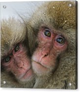 A Pair Of Japanese Macaques, Or Snow Acrylic Print