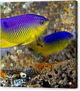 A Pair Of Juvenile Cocoa Damselfish Acrylic Print by Michael Wood