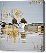 A Pair Of Northern Pintail Ducks  Acrylic Print