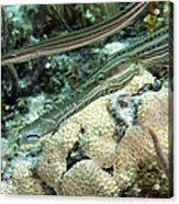 A Pair Of Trumpetfish Off The Coast Acrylic Print