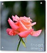 A Peachy Pink Delight Acrylic Print