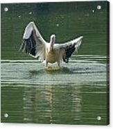 A Pelican Drying Its Wings After Landing In The Lake Inside Delhi Zoo Acrylic Print