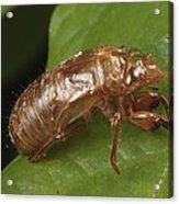 A Periodical Cicada Exoskeleton Acrylic Print