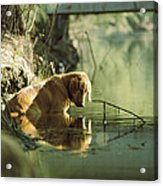 A Pet Dog Sits In The Shallow Water Acrylic Print