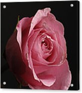 A Pink Rose Rosaceae Acrylic Print