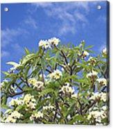 A Plumeria Caracasana Tree In Full Acrylic Print