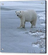 A Polar Bear Stepping Onto Ice Acrylic Print