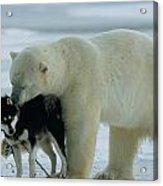 A Polar Bear Ursus Maritimus Snuggles Acrylic Print