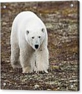A Polar Bear Ursus Maritimus Walking Acrylic Print