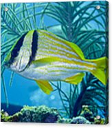 A Porkfish Swims By Sea Plumes Acrylic Print