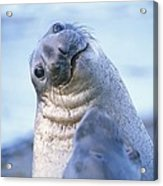 A Portrait Of A Northern Elephant Seal Acrylic Print by Rich Reid