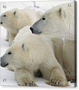 A Portrait Of A Polar Bear Mother Acrylic Print