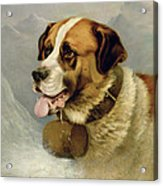 A Portrait Of A St. Bernard Acrylic Print by James E Bourhill