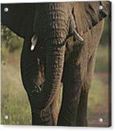 A Portrait Of An African Elephant Acrylic Print