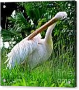 A Preening Stork Acrylic Print
