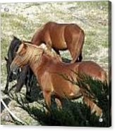A Proud Stallion With His Mares Acrylic Print