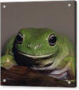 A Queensland Subspecies Of Green Tree Acrylic Print